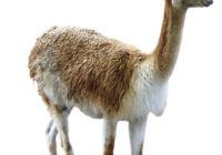 vikunya hayvanı