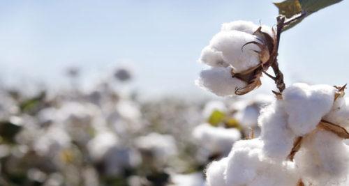 organik pamuk