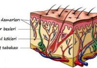 derinin yapisi1