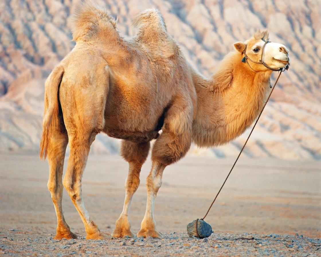 ortadoğu devesi