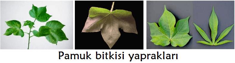 Pamuk bitkisi yaprağı
